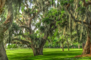 spanish moss plantation oaks